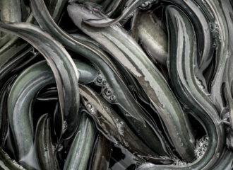La reproducción de la anguila