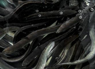 Mitos sobre la anguila