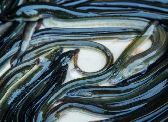 pesca angula y anguila