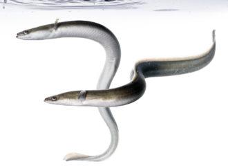 comen las anguilas