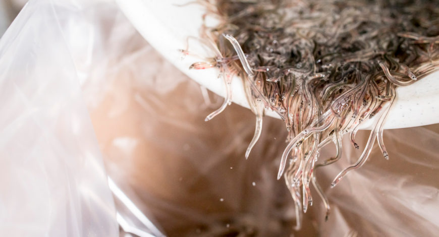Como se sacrifican las angulas