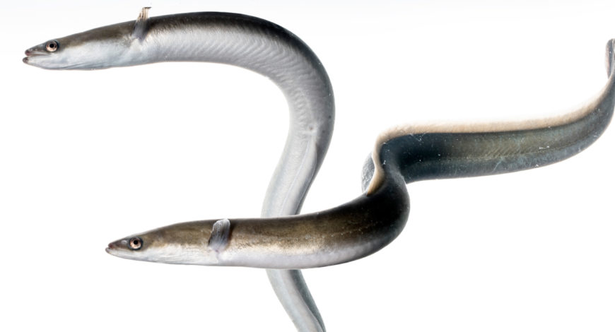 La pesca de la anguila