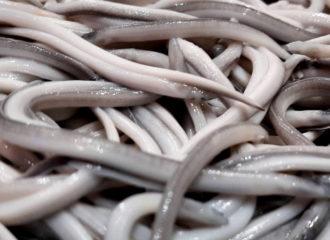 ¿Cuál es la diferencia entre las angulas de lomo blanco y de lomo negro?